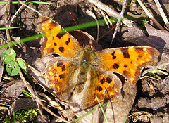 The First Butterfly of the Year by Tony Worrall