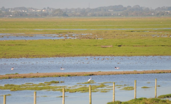 The Ribble estuary in October - A Great White Heron, three Shelducks, and further afield flocks of ducks.