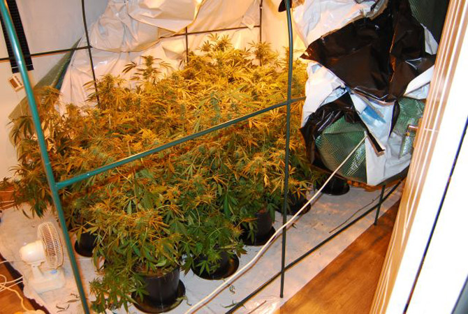 Cannabis plants found by police during the drugs raid