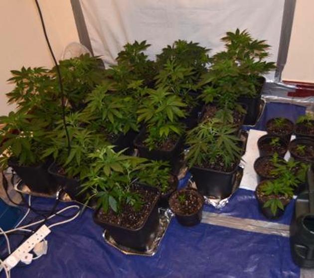 cannabis_cropped