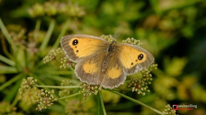 Pyronia tithonus - Gatekeeper Butterfly (Butterflies)