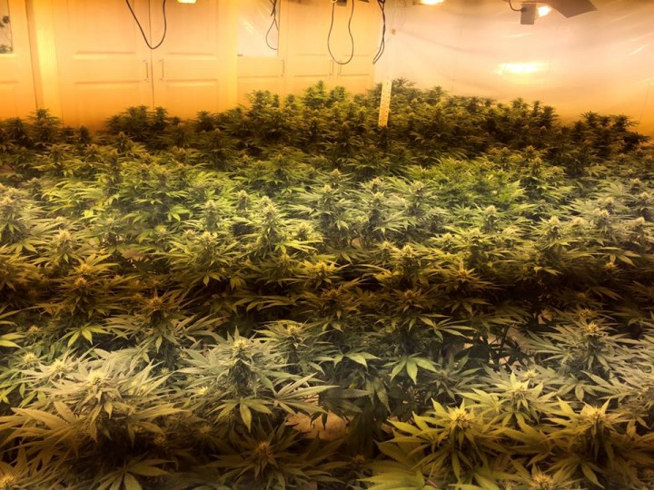 Cannabis plants discovered at the house in Fulwood