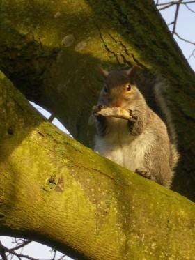 Squirrel on Moor Park