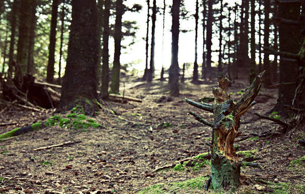 A swathe of trees are to be felled to allow younger trees to grow on the Fell
