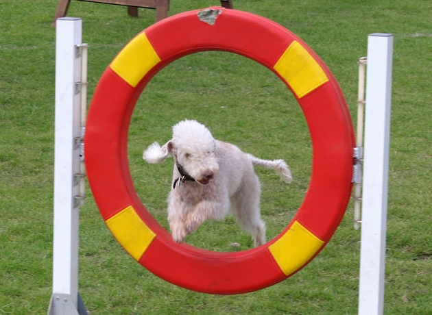 dog show 1