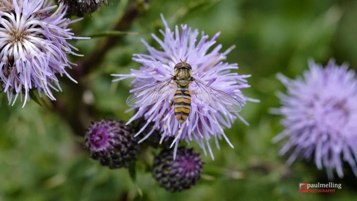 Hoverfly, Eupeodes latifasciatus