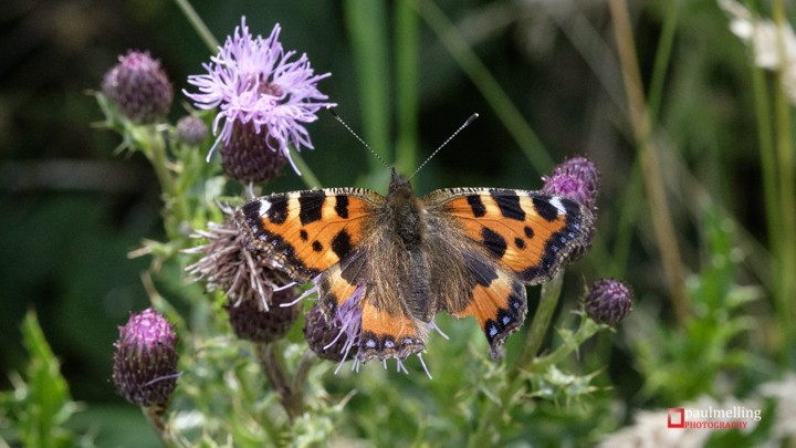 Small Tortoiseshell, Nymphalis urticae  with tattered wings on Thistle