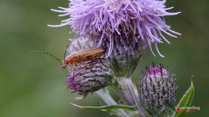 Common red soldier beetle (Rhagonycha fulva) on purple Thistle flower.